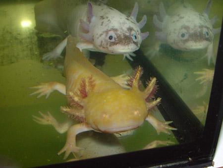 axolotl-foto-2