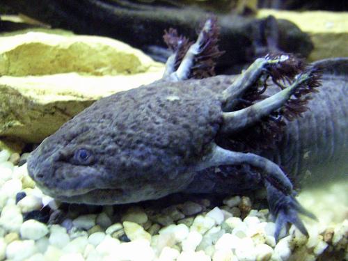 axolotl-foto-3